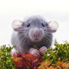 Aww, I do adore ratties; pity I am allergic to them