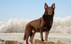 10 Things You Didn't Know About the Australian Kelpie