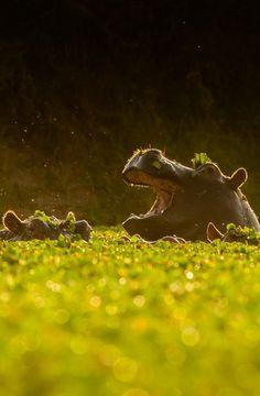 heaven-ly-mind: Gooood moooorning, hippo-pond! by Tomas Fjetland on 500px