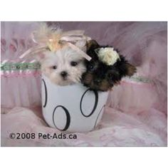Teacup puppies. I need these puppies now!!!