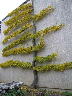 Gingko espalier on wall