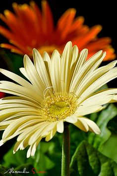 Gerber Daisies.....I love daisies!  Give a me a single daisy over a dozen roses any time.