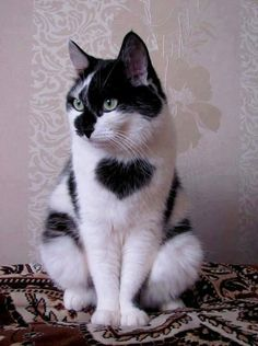 Beautiful black and white cat in a sitting position... click on picture to see more