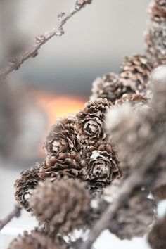~Autumn~ Snow-glazed pinecones decorate the branches . . .