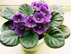 African Violets - not toxic for either cats or dogs. They like moist soil and bright light, but don't need direct sunlight.