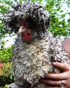Polish-Frizzle-Hatching-Eggs-10-Show-Quality