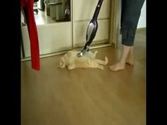 This Cat Loves To Get Vacuumed! You Must Watch This Video! http://mycatcentral.com/cat-loves-vacuum/