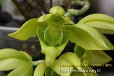 Catasetum dupliciscutulatum