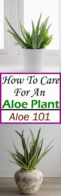 Aloe plant care is easy, learn how to care for it in this short guide and imply the tips.