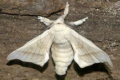 30.10.08 Silk worm moth   by janismith, via Flickr