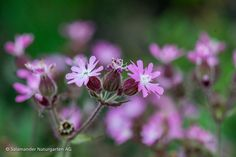 Rote Lichtnelke (Silene dioica) im Wildblumengarten  #Pflanze #Wildpflanze #Nelke #Rosa #Pink #Rot #Blüte #Wildblume #Naturgarten  #plant #nativeplant #carnation #red #pink #flower #wildflower Bee Friendly, Natural Garden, Nature, Plants, Meadow Flowers, Alps, Naturaleza, Planters, Nature Illustration