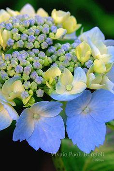 Blue Hydrangea serrata 'Blue deckle'