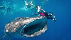 Image result for swimming with whale sharks