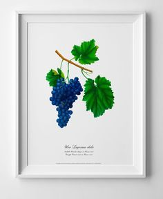 Grape watercolour drawing art Vintage botanical art poster picture antique home geclee print wall cubicle decor old image wall art print Watercolor Pictures, Watercolor Drawing, Wall Art Prints, Poster Prints, Art Drawings, Drawing Art, Botanical Wall Art, Old Images, Poster Pictures