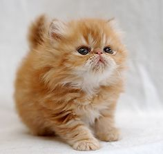 Adorable fluffy kitten!  If only cats could stay kittens.