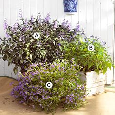 Butterfly Container Garden    A. Plectranthus 'Mona Lavender' -- 4  B. Salvia guarantica 'Black and Blue' -- 2  C. Fan flower (Scaevola 'New Wonder') -- 4
