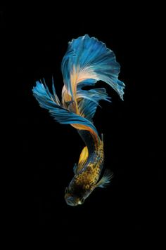 Pretty Fish, Beautiful Fish, Fish Wallpaper, Animal Wallpaper, Colorful Fish, Tropical Fish, Fish Background, Betta Fish Types, Beta Fish