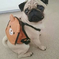 """I take my Pugpack with me everywhere!""  www.jointhepugs.com/  #tgif #pugpower #pugsnotdrugs #puglife #puglove #cuteness #pugs #dogs"