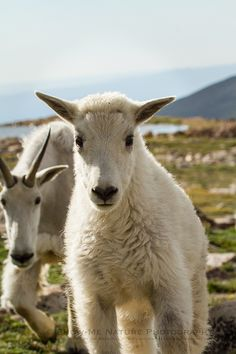 """Fun Friday: """"Up-Close People Watching!""""   Mountain Goats on Mt. Evans, Colo   Show Me Nature Photography"""