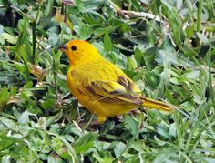 Pájaro amarillo busca banano en el pasto. ¿Necesitas fotos como esta para el contenido de tu web? Visita: www.laweb.com.co/contenido-web/