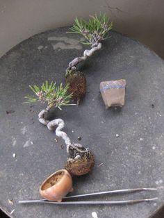 Bonsai: firethorn image | bonsai workshop of Haru Yoshimi