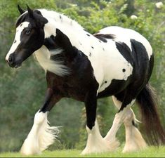 The Gypsy dream was to breed the perfect horse to pull their colorful vardos or living wagons through the hillsides of England and Ireland.  when the days work was done, the beautiful Gypsy Vanner, had to be gentle and docile enough to teach Gypsy children how to ride.