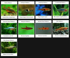 Rasbora varieties. Colourful, peaceful community fish, hardy, swim towards top of tank, schooling.