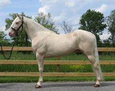 Cremello Tennessee Walking Horse While not as rare as some of the other horses on this list, this cremello is a blonde beauty. with blue eyes too Some Beautiful Pictures, Most Beautiful Horses, All The Pretty Horses, Beautiful Birds, Draft Horse Breeds, Rare Horses, Tennessee Walking Horse, Gypsy Horse, Horse Rescue