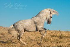 Dapple grey Andalusian horse