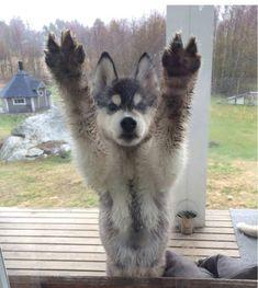 Husky Tails #puppy