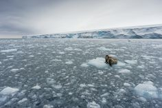 Norway - GO WITH THE FLOE Walruses on an ice floe off of Kvitøya (White Island) in Norway's Svalbard archipelago return the gaze of Your Shot member Christian Aslund's camera lens. These animals are most often found near the Arctic Circle, an environment to which they're perfectly suited, thanks to their blubbery bodies, ice-piercing tusks, and ability to slow their heartbeat to withstand the freezing water temps.