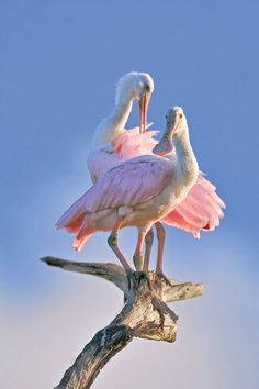 the Sarasota Audubon Society will celebrate the grand opening of a nature center at the Celery Fields. Nature Animals, Animals And Pets, Cute Animals, Most Beautiful Birds, Pretty Birds, Beautiful Creatures, Animals Beautiful, Duck Bird, Funny Birds