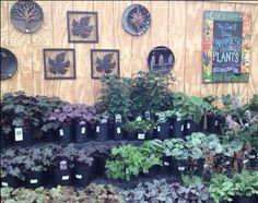 Our perennial shade area. Shade Perennials, Shades, Garden, Plants, Garten, Lawn And Garden, Gardens, Sunnies, Plant