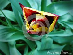 Royalty Free Stock Photos: Tulip flower two color red yellow garden closeup.
