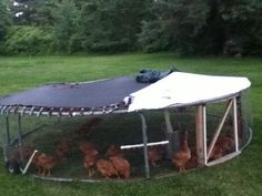 Re-purposed trampoline to a chicken tractor!