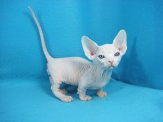 I want this Bambino! Cute Hairless Cat, Sphynx Cat, Puppies And Kitties, Cats And Kittens, Dogs, Kittens Cutest, Cute Cats, Funny Cats, Pretty Cats
