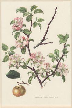 1960 Vintage Botanical Print Malus sylvestris by Craftissimo