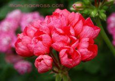 Pelargonie - Pelargonium Pink Pandora