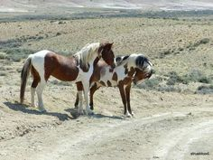 Picaso (stallion in the back) and Tango have words.  Mustangs in the Sandwash basin