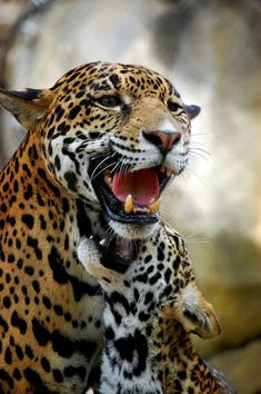 Animal Pals looks at the stunning Jaguar (Panthera Onca) for this weeks Creature Feature. Pretty Cats, Beautiful Cats, Animals Beautiful, Big Cats, Cats And Kittens, Cute Cats, Animals And Pets, Cute Animals, Wild Animals
