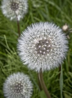 Some see them as weeds, but for me they are an opportunity to stop the world, close my eyes and make a wish.