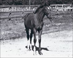 Secretariat a racing legend that won the Triple Crown. Winner of the Belmont Stakes by 31 lengths. America's hero and racing legend. Most Beautiful Animals, Beautiful Horses, Horses And Dogs, Animals And Pets, Equine Quotes, Triple Crown Winners, Thoroughbred Horse, Racehorse, Horseback Riding
