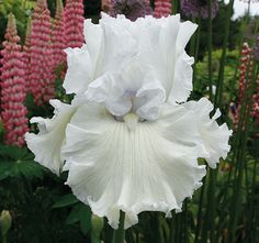 Jimmy G | Tall Bearded Iris Schreiner 2015; We relax and breath deep when we come upon Jimmy G.  White, silver white – everywhere. Like being immersed in a cloud. Jimmy G imparts peacefulness. It's big and broad, with crinkled falls, domed standards, and excellent branching. This is a marvelously proportioned, lush specimen. Jimmy G is named for a wonderful man – the late James Giancarlo of the Ashland Shakespeare Festival.