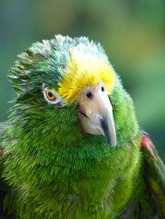 El loro real amazónico (Amazona ochrocephala) Se los halla normalmente en parejas, más que en bandadas. Comen frutos, nueces, semillas, bayas, cacahuetes, etc.  Su nido está normalmente en cavidades de árboles donde pone tres o cuatro huevos. Su tiempo de incubación varia de 25-26 días. Los pichones permanecen en el nido de 21-70 días.