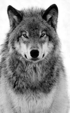 large × - Inner of wolf - # . - large × – Inner of wolf – # - Beautiful Wolves, Animals Beautiful, Cute Animals, Wild Animals, Nature Animals, Baby Animals, Wolf Photos, Wolf Pictures, Nature Photos