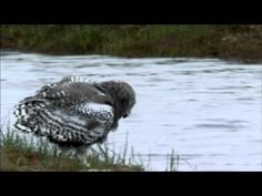 """NATURE """"Magic of the Snowy Owl"""" 
