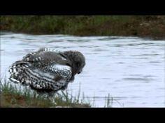Snowy owl in Zeebrugge, Belgium