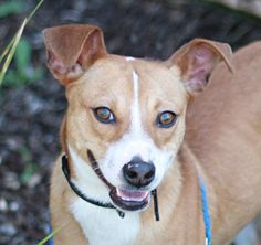 *RESCUED BY PAW FUND* My name is KINSER.  I am a neutered male, tan and white Basenji mix.  The shelter staff think I am about 2 years and 1 month old.  I have been at the shelter since Apr 21, 2014.