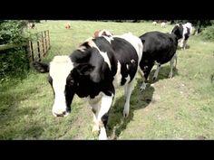 A 3,000 Pound Jokester: Bonding in the Cattle Herd