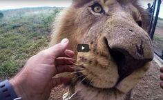 Já pensou como é ser dentista de feras selvagens?